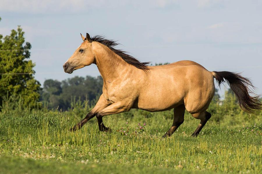 Buckskin quarter horse stallion - photo#7
