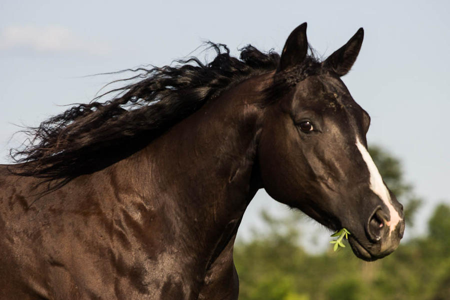 Quarter Horse stock 1 - dark bay/black by Skunktail17 on ...  Dark