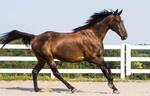 Bay horse stock 13