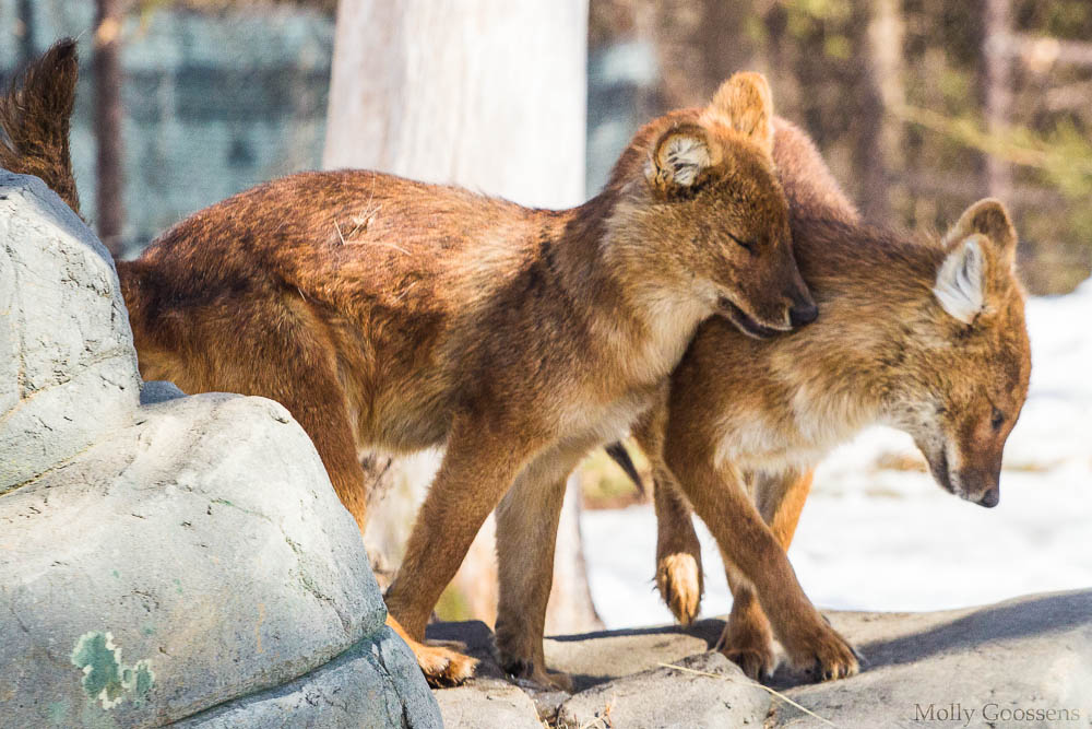 Dhole (Asian Wild Dog) pups by Skunktail17