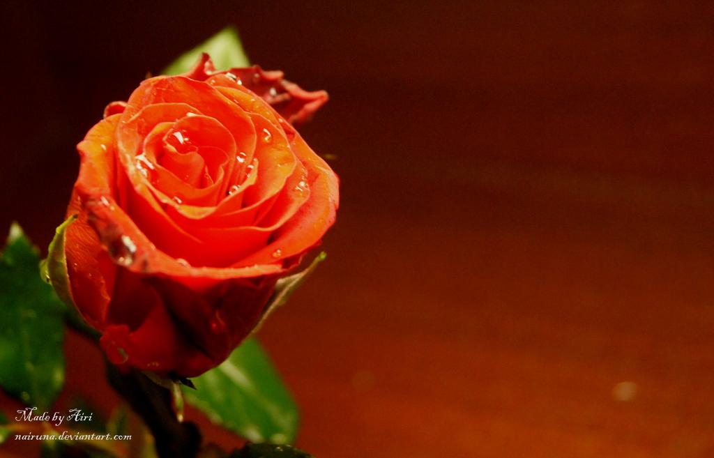 Elegant Rose by Nairuna
