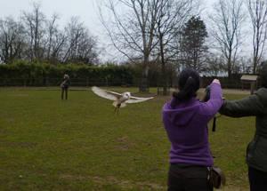 The flight of the barn owl