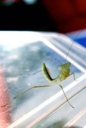 Baby Mantis 2