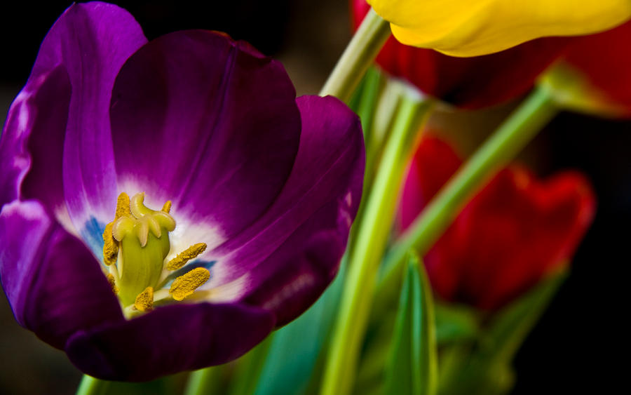 A Tulip's Voice by nprkr