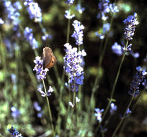butterfly on lavendel by marob0501