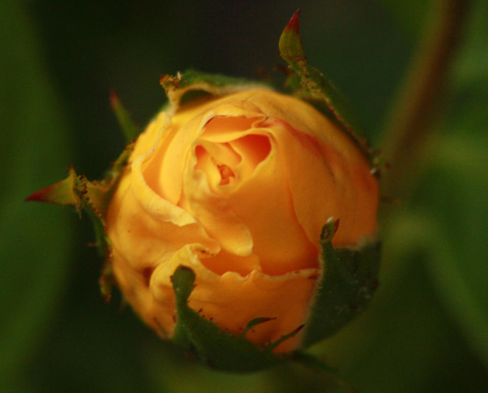 rose bud by marob0501