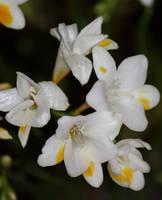 fresia flowers by marob0501