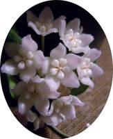 hoya cropped by marob0501