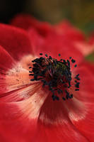 anemone red by marob0501