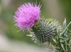 thistle 2 by marob0501