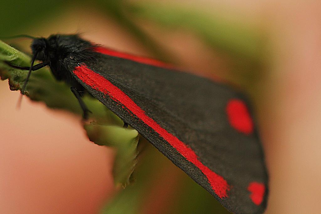 st Jacobbutterfly by marob0501