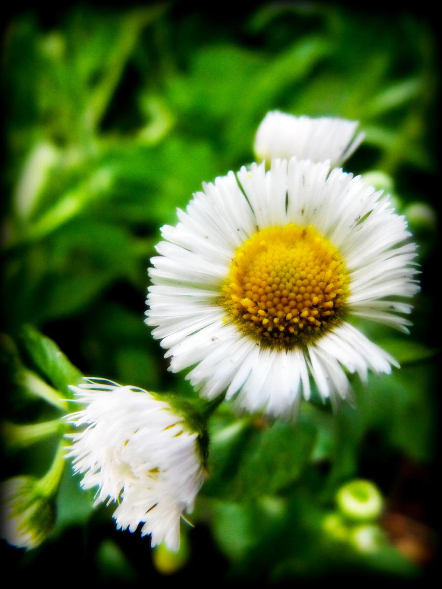 Daisy 2 by corvus-sky