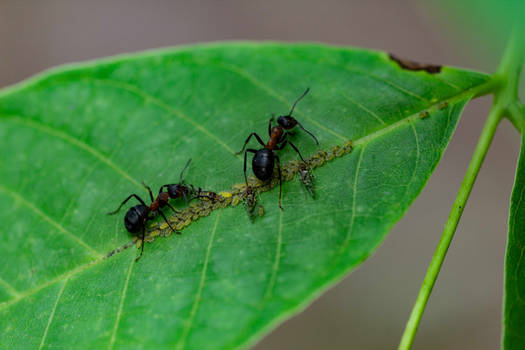 An Ant guards for aphids