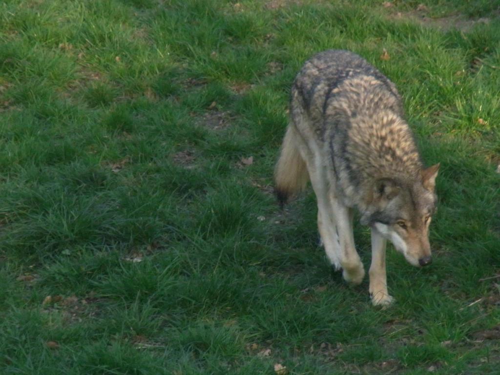 Malvorlagen Wölfe - Vorlagen & Motiv-Vorschläge - Zeichnen Forum