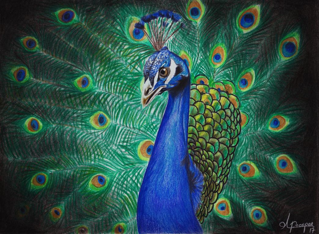 Peacock by TwentyFifthFrame