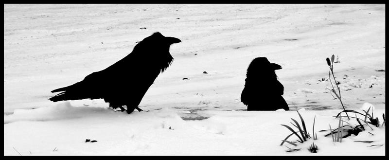 ravens in the snow by heavyteeth