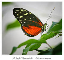 Heliconius Ismenius - 2 by 51ststate