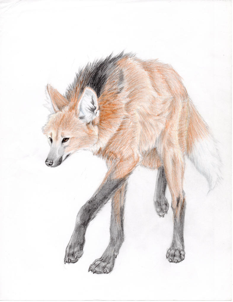 How To Draw A Maned Wolf: Maned Wolf Drawing