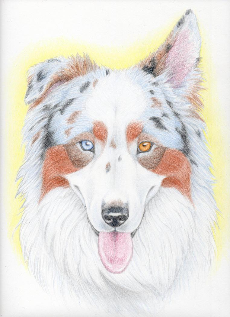Australian Shepherd Dog by mysteriouswhitewolf