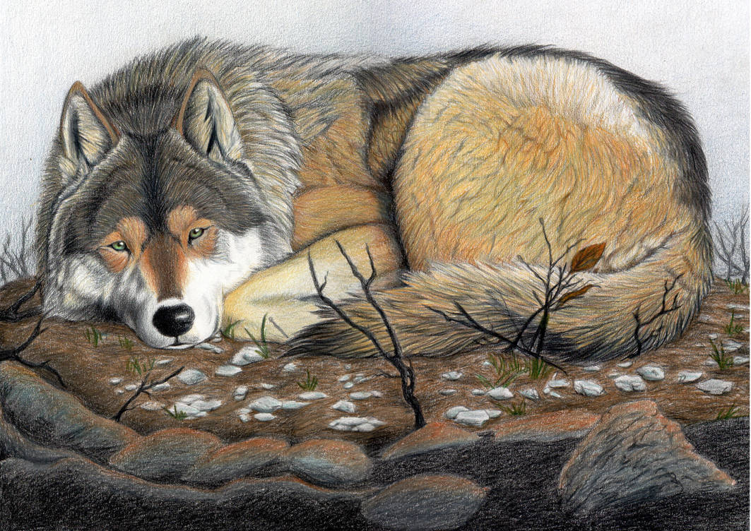 Wolf Morning