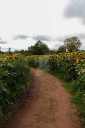 STOCK: Sunflower Path