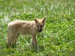 little baby wolf 1