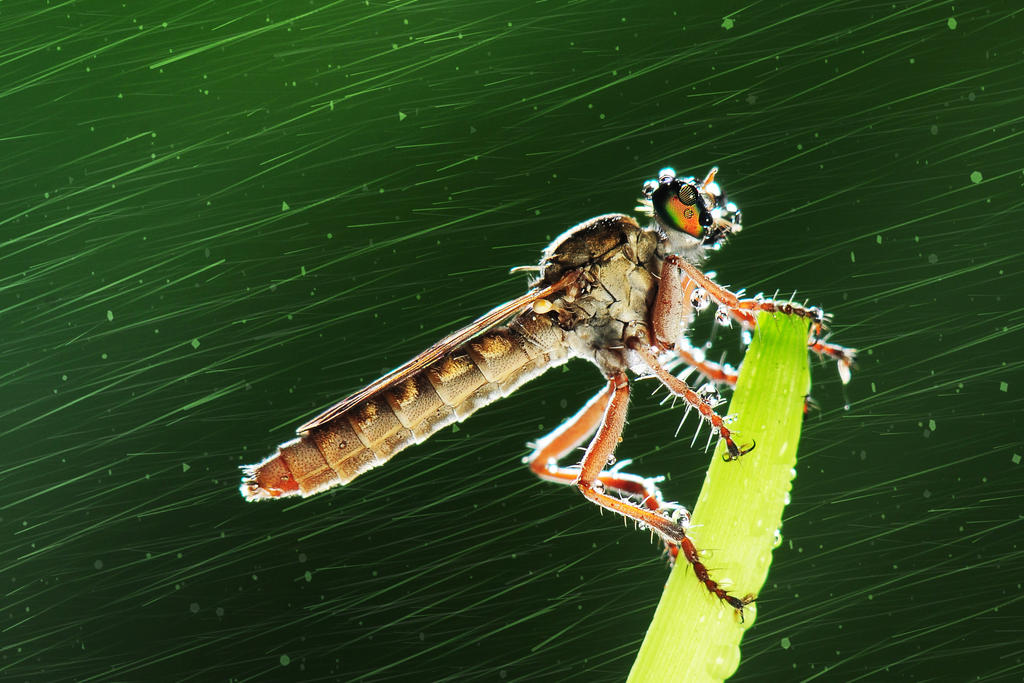 Robber Fly by sadiqalkhater