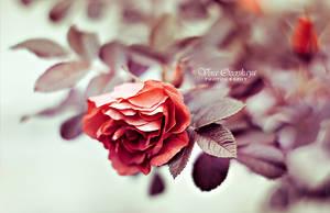 Rose by VeraOzerskaya