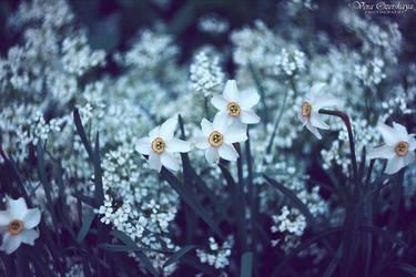 Datura flowers