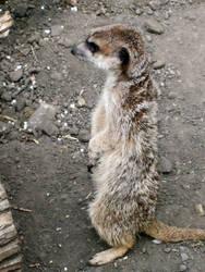 Meerkat by barbimajoros