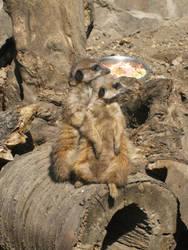 Meerkat 2 by barbimajoros