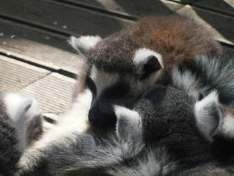 Lemur by barbimajoros