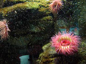 Anemones at the aquarium by soraneko