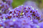 Painted Lady on Sea Lavender, Face