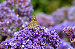 Painted Lady on Sea Lavender, Outer Wings