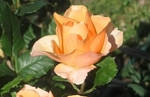 Peach Rose Bloom by SweetSoulSister