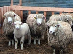 Shaggy Sheep and Lamb by SweetSoulSister