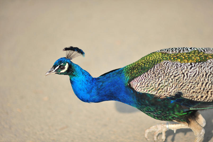 Peacock by barsknos