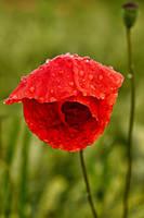 Poppy-1 by KarabansRaven