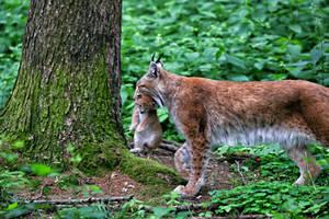 Baby-lynx-when-move by KarabansRaven