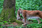Baby-lynx-when-move