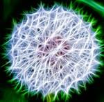 Pusteblume (dandelion)