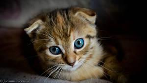 Kitten by JohannaLie