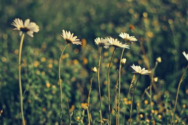 daisy for you III by dulcechokolate