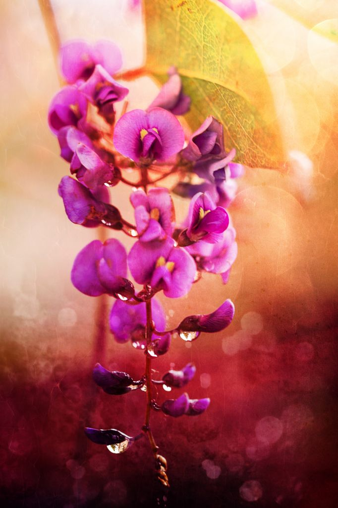 Orchidee mauve