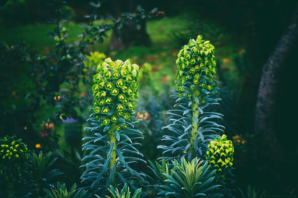 Euphorbia characias by cindywebbphotography