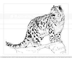 Snow Leopard Posed