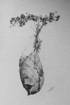 Antheraea polyphemus cocoon