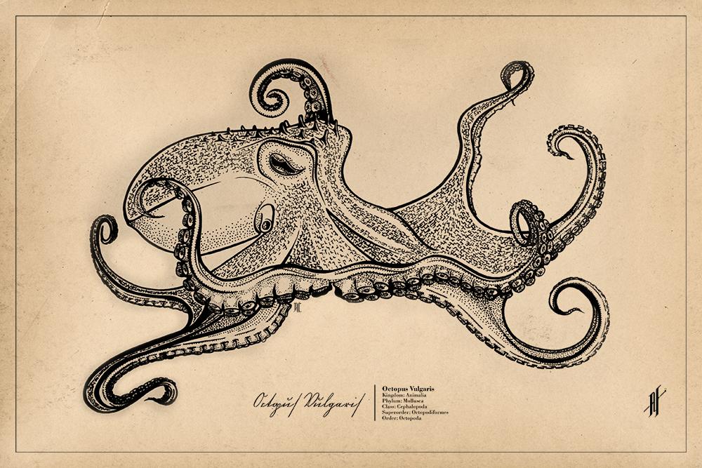 Octopus Vulgaris by AlejandroFiny