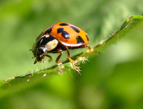 ladybug1